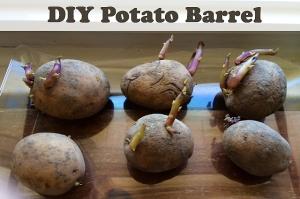 DIY Potato Barrel | Salty Suburban Homestead